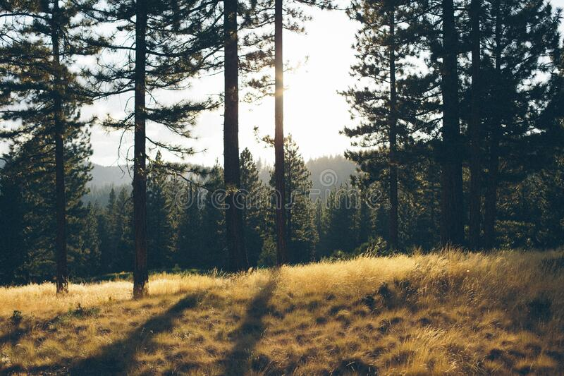 Clearing in evergreen forest royalty free stock photos