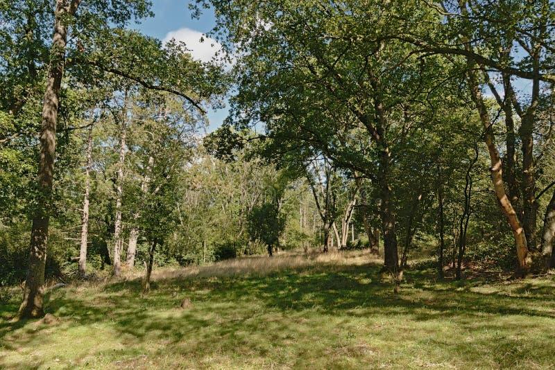 Clearing i en skog på Ardennas kullar, Belgien arkivfoto