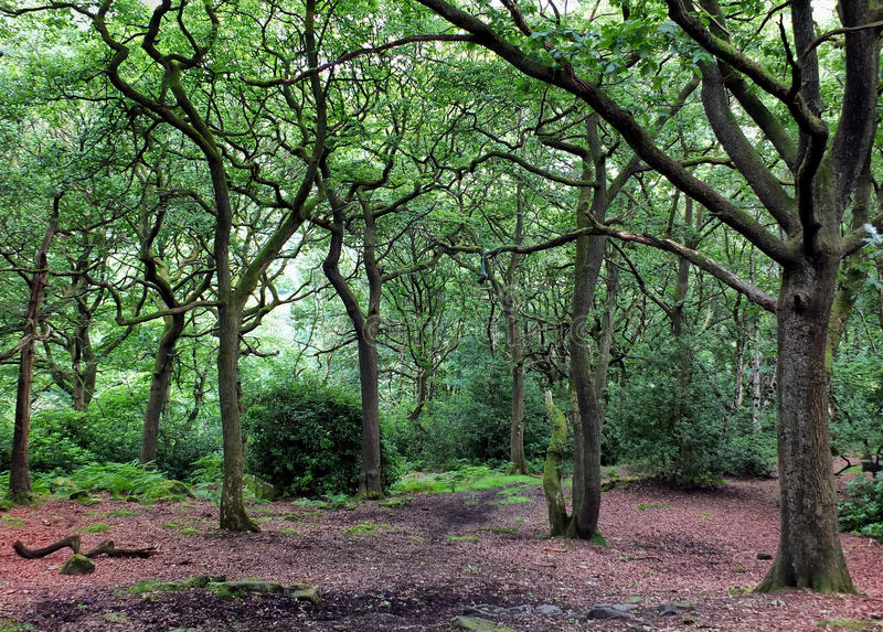 Clearing in an oak woodland forest with green trees royalty free stock images