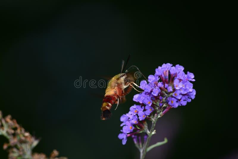 Clearwing在花的蜂鸟飞蛾 免版税库存图片