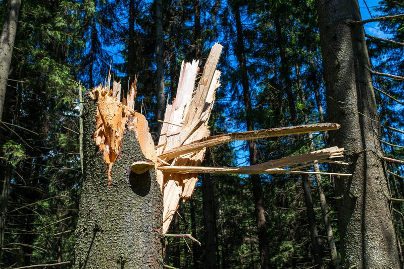 Cleaved tree, strong wind broken the pine tree royalty free stock photo