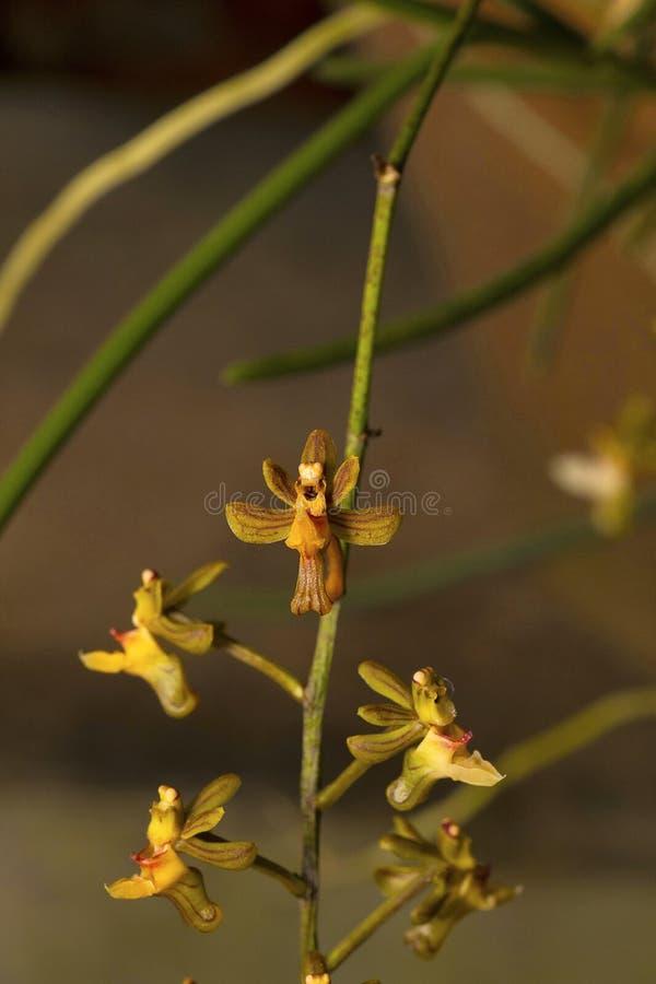 Cleisostoma appendiculatum, orkidé Durgapur by arkivbilder