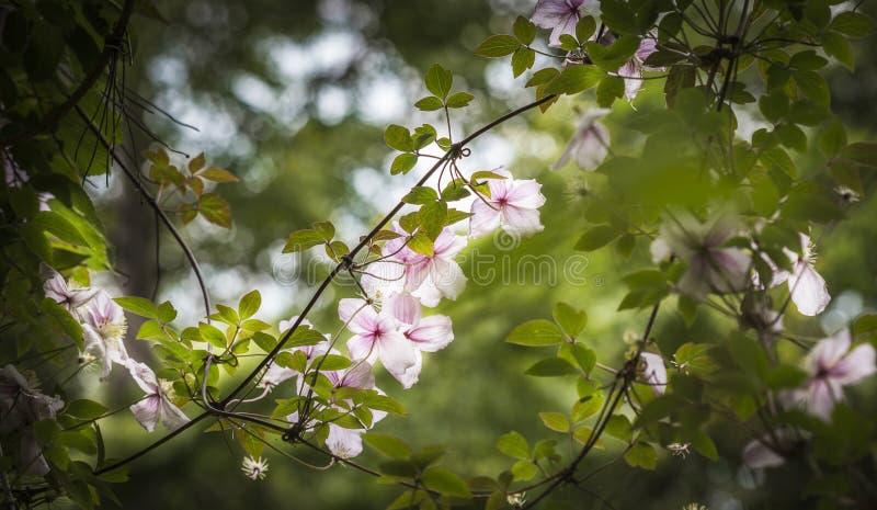Clemátide en jardín escocés fotografía de archivo libre de regalías