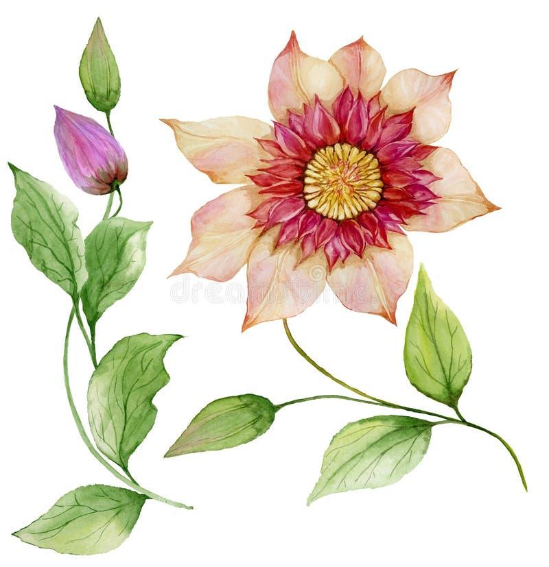 Clemátide hermosa en un tronco Flor floral del sistema, hojas en la ramita que sube, cápsula Aislado en el fondo blanco ilustración del vector