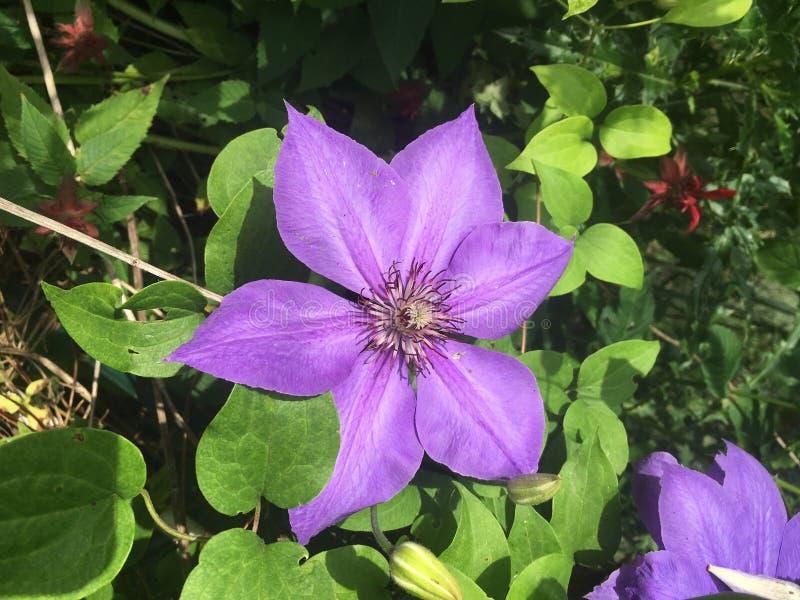 Clemátide púrpura pálida foto de archivo libre de regalías