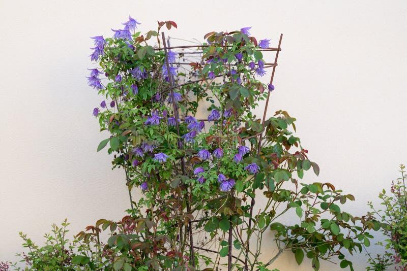 Clemátide que florece en marco de jardín del metal foto de archivo libre de regalías