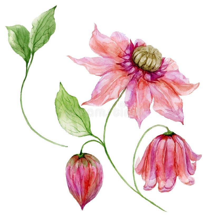 Clemátide rosada hermosa en un tronco Flor floral del sistema, hojas en la ramita que sube, cápsula Aislado en el fondo blanco stock de ilustración