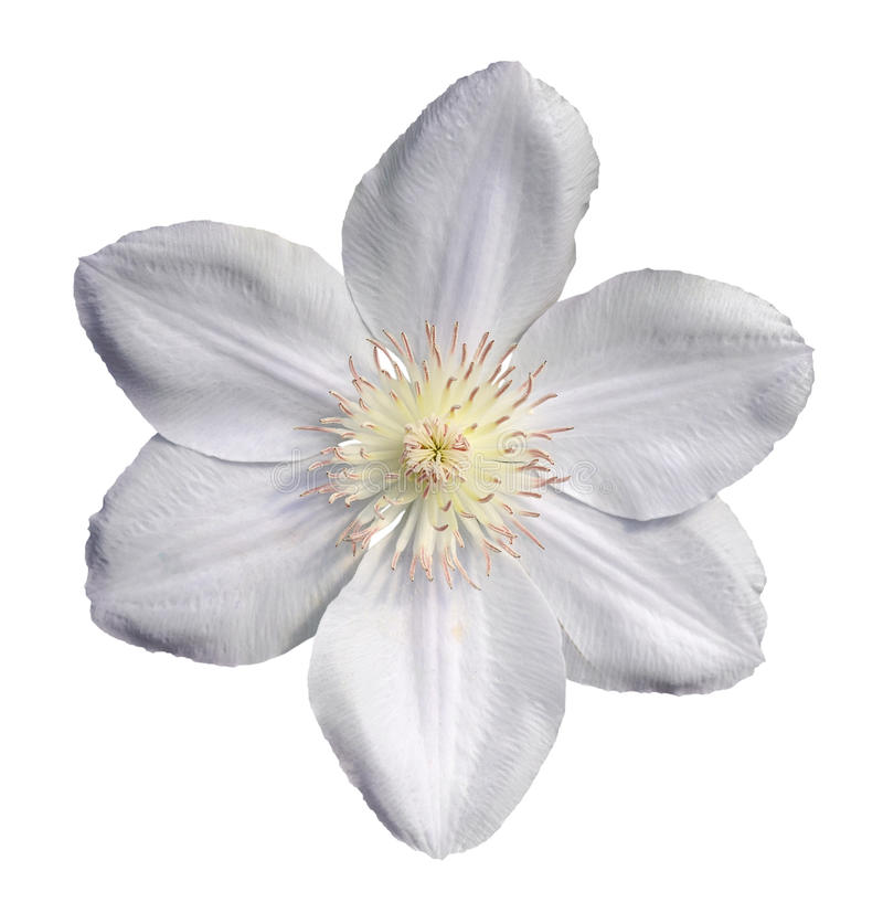 clematide bianca fotografia stock