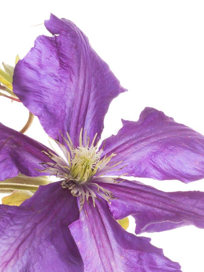 Clematide porpora delicata fotografie stock