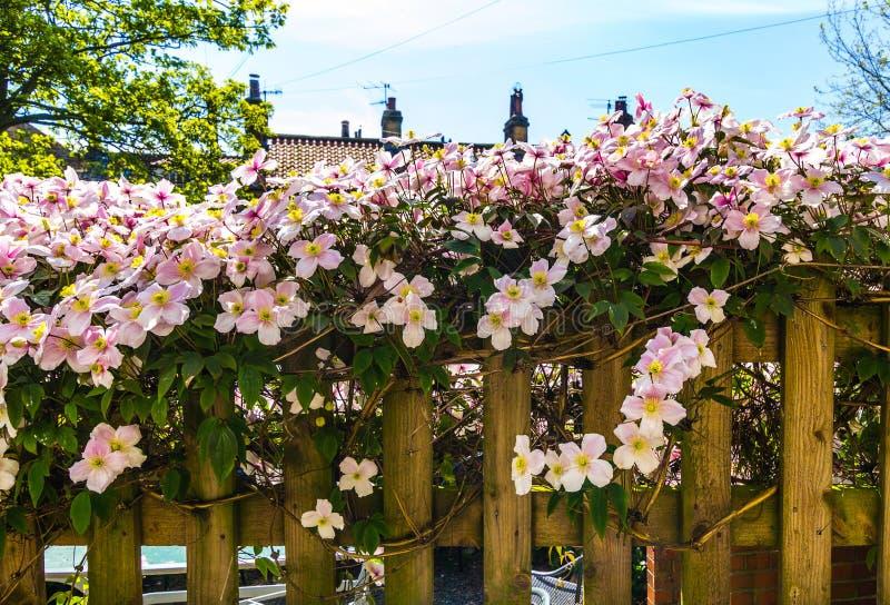 Clematide rosa sul vecchio, recinto di legno immagini stock libere da diritti