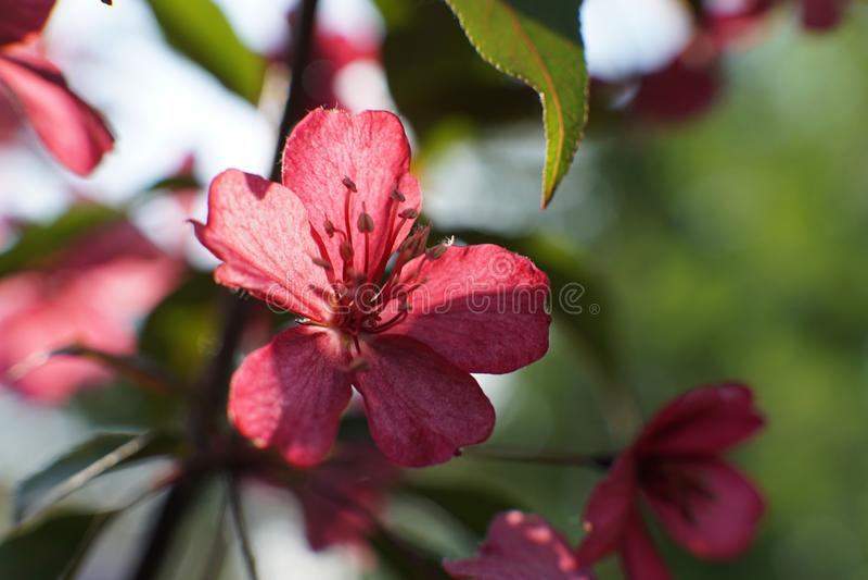 Clematis με μεγάλο βαθύ - τα ρόδινα λουλούδια κλείνουν επάνω στοκ εικόνες