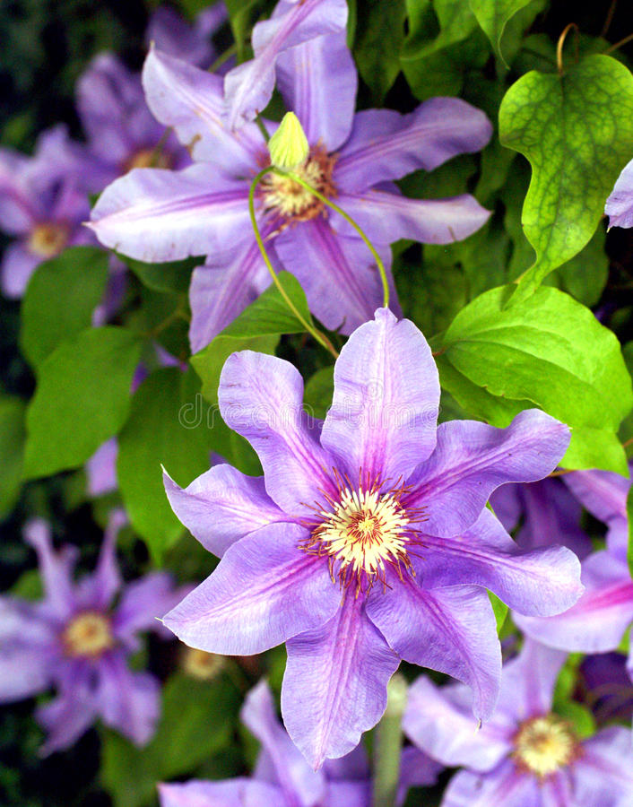 Free Clematis Royalty Free Stock Photography - 18268227