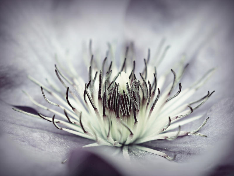 Clematis image stock