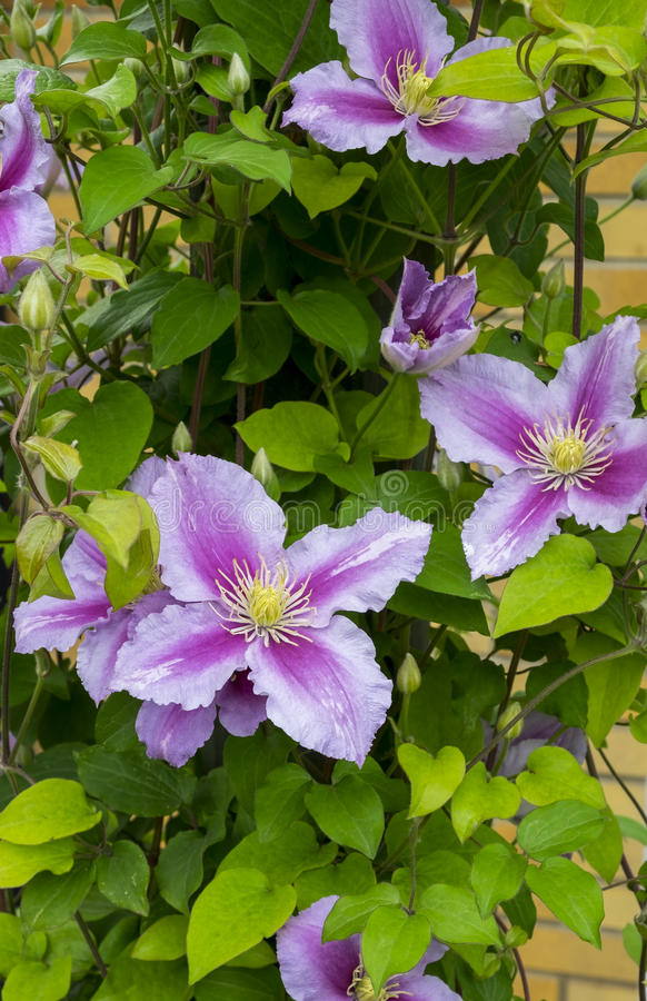 Clematis images stock