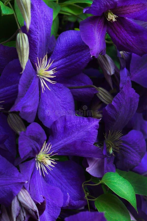 Clematis azul imagem de stock royalty free