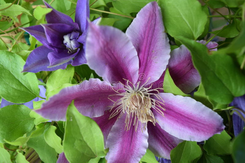 2 Clematis royalty free stock images