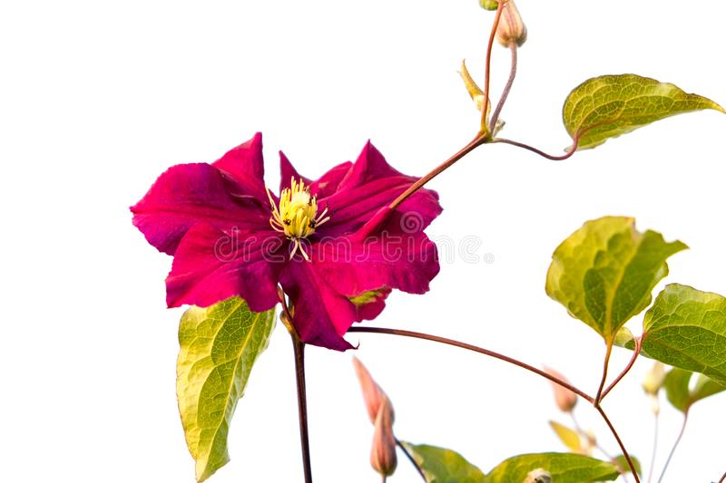 Clematis Black Prince royalty free stock images