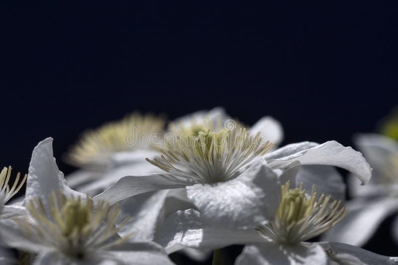 Clematis branco imagens de stock royalty free