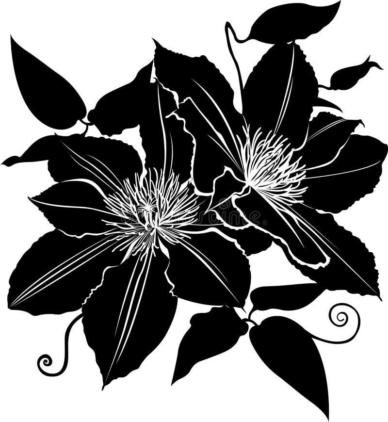 Clematis Clematite da flor Ramo das flores do vetor da clematite ilustração do vetor de flores da clematite ilustração do vetor