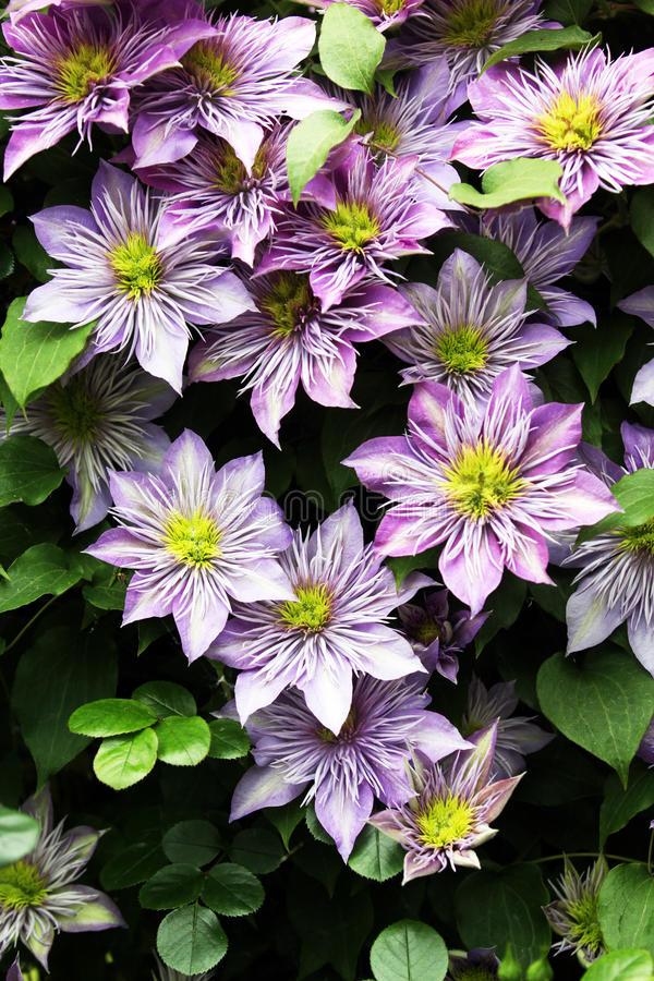 Clematis climbing plants stock photo image of floral 96014968 download clematis climbing plants stock photo image of floral 96014968 mightylinksfo