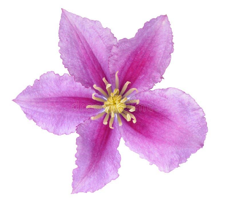 Clematis cor-de-rosa fotografia de stock
