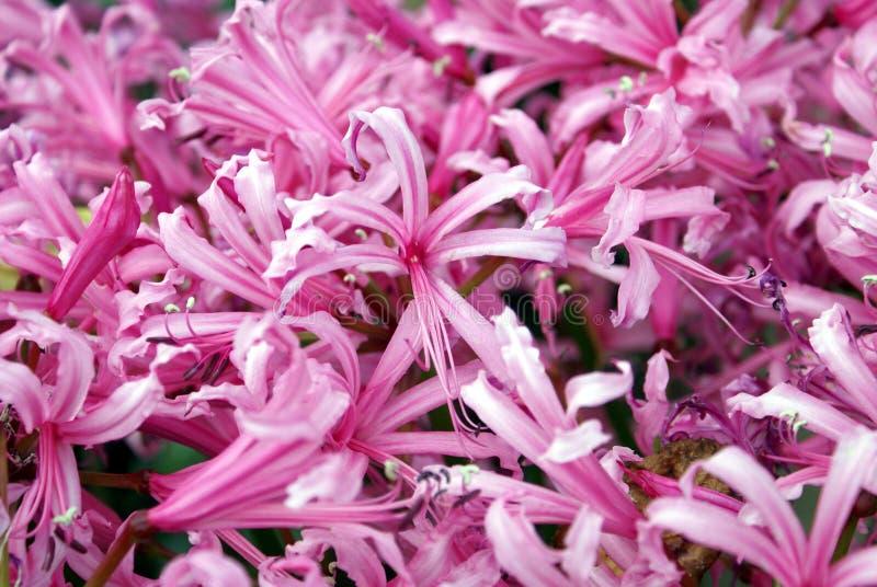 Clematis cor-de-rosa fotos de stock
