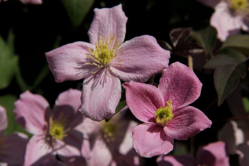 Clematis cor-de-rosa fotografia de stock royalty free