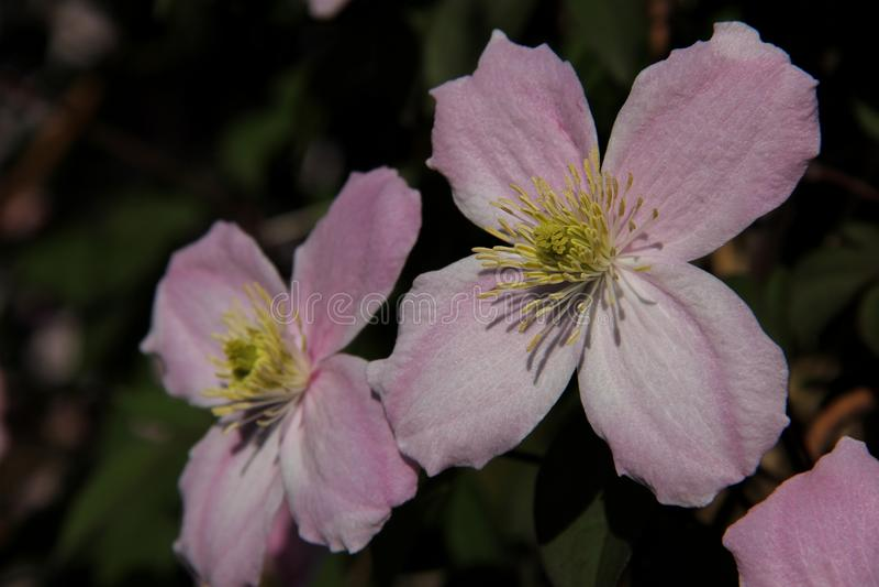 Clematis cor-de-rosa imagens de stock royalty free