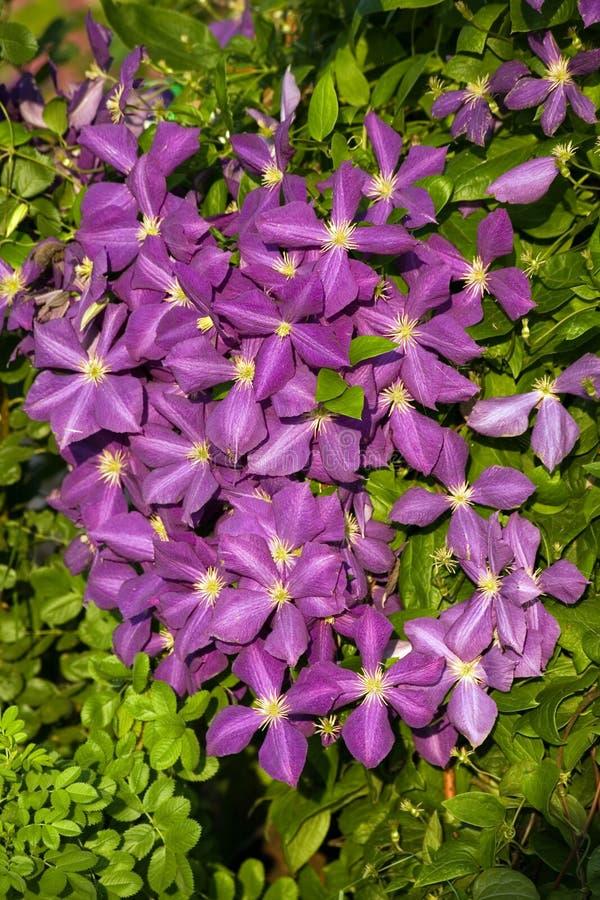 Clematis de Jackmani EN la floración foto de archivo