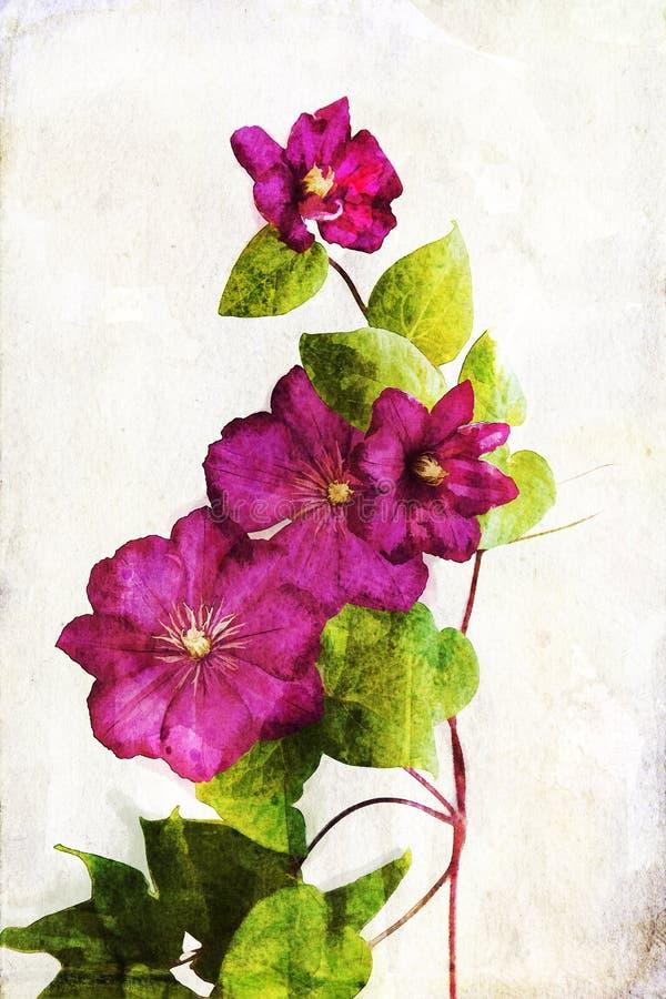 Clematis do crimson de Watercolored ilustração royalty free