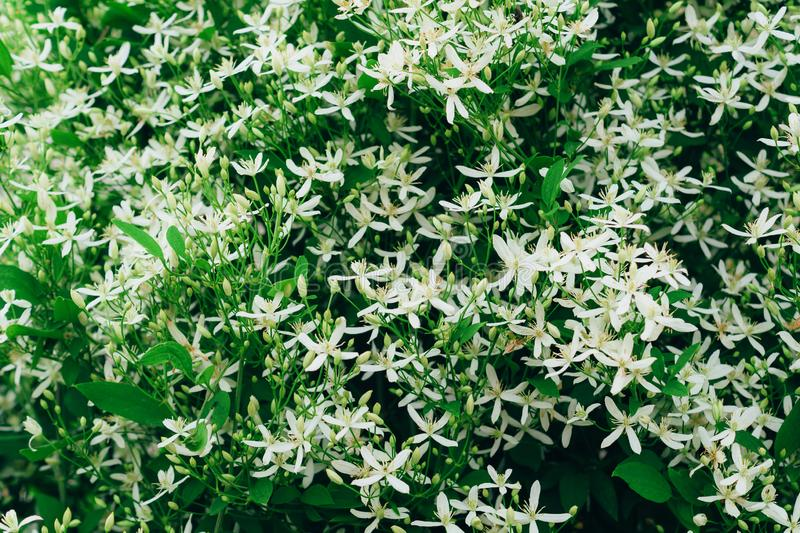 Clematis flammula, white summer flowers background. Awesome beautiful flowerbed with small petals. Excellent plant for landscaping royalty free stock image