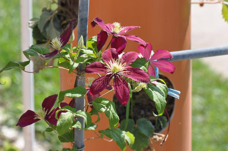Clematis florida fotografia de stock
