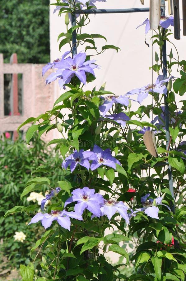 Clematis florida foto de stock