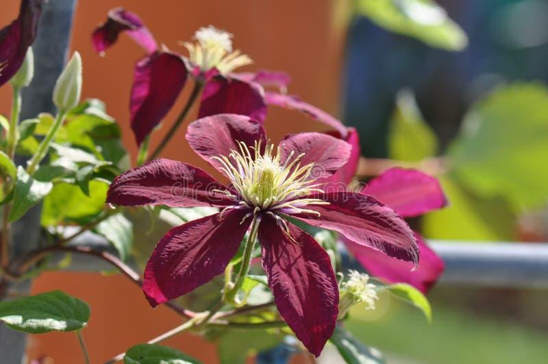 Clematis florida foto de stock royalty free