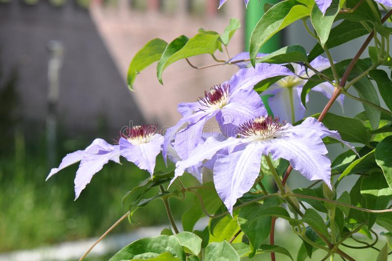 Clematis florida fotografia de stock royalty free
