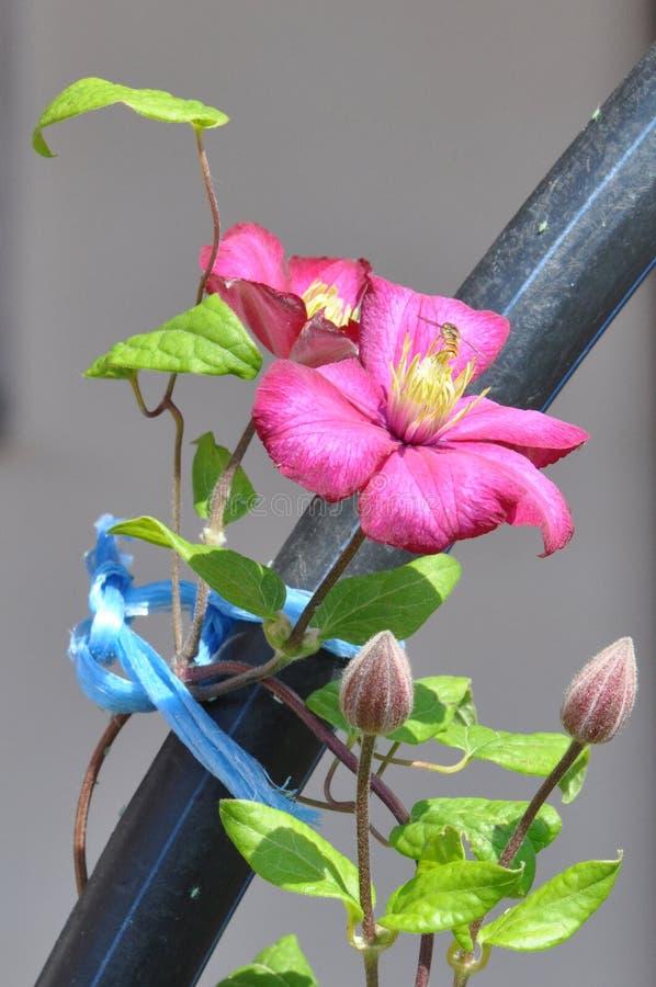Clematis florida fotos de stock royalty free