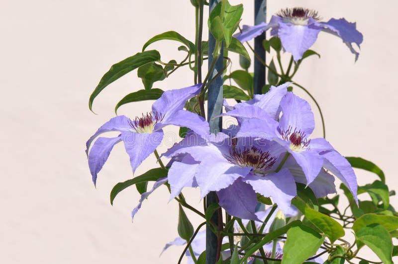 Clematis florida imagem de stock