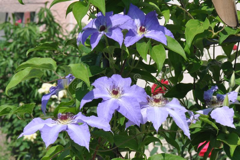Clematis florida fotos de stock