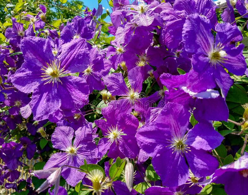 Clematis flower clusters stock photo