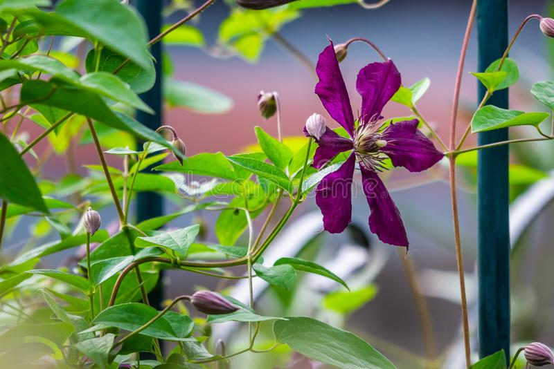 Clematis flower on a fence stock images
