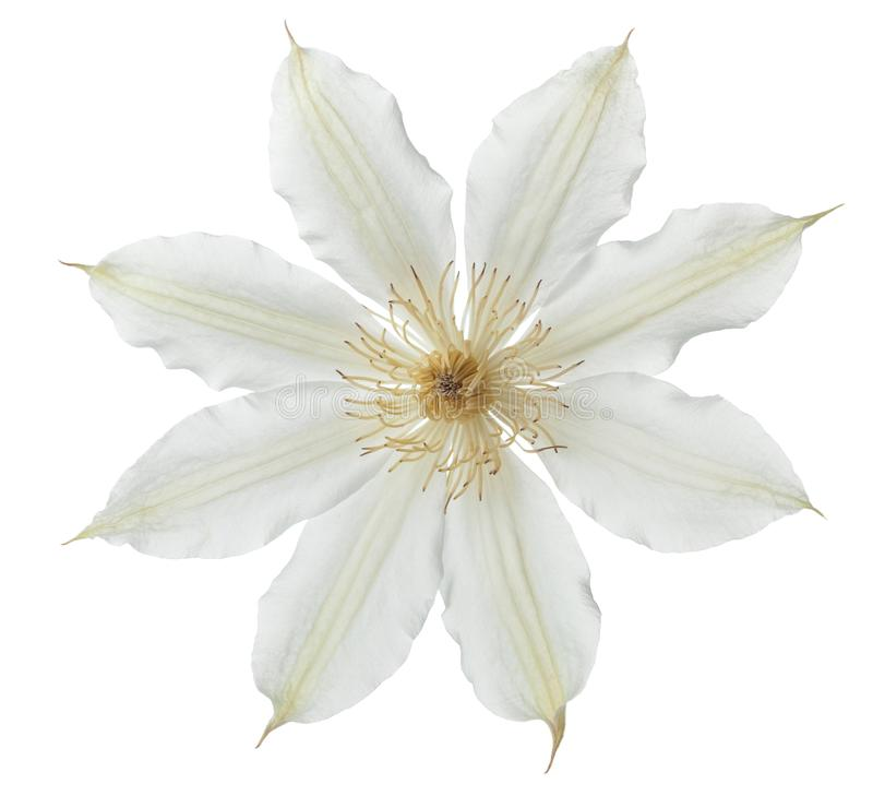 Clematis flower isolated on white background. Clematis flower isolated on white stock photography
