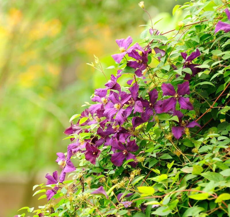 Clematis hermoso Bush con las flores de Borgoña foto de archivo libre de regalías