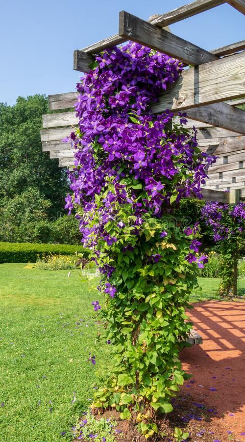 Free Clematis `Jackmanii` Blooms On A Column Of A Pavilion In Elizabeth Park Royalty Free Stock Image - 120679856