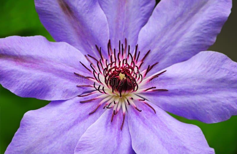 Clematis kwiatu zbliżenie zdjęcia stock