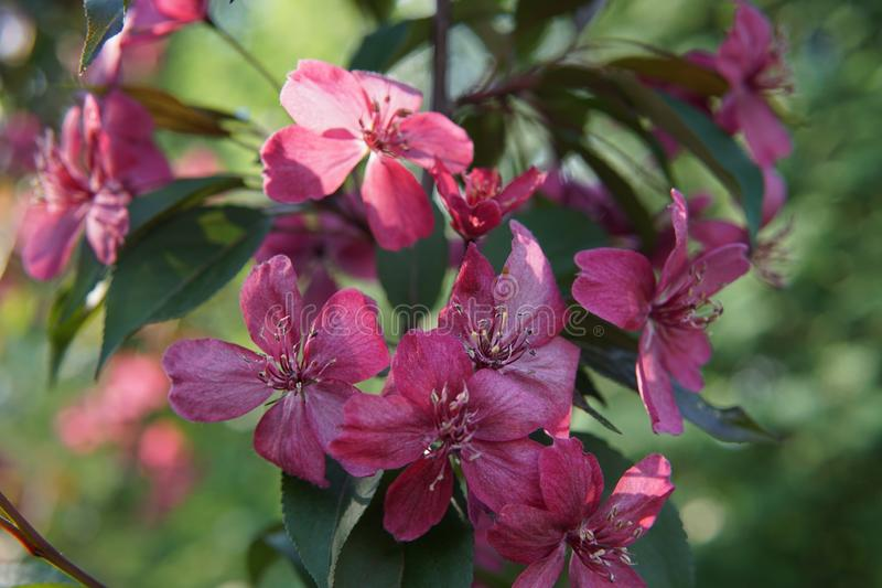 Clematis with large deep pink flowers close up stock photography