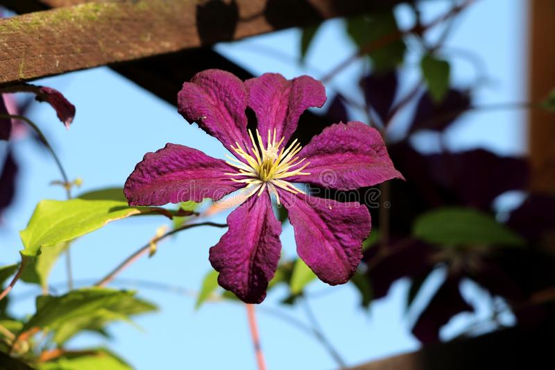 Clematis or Leather flower dark purple easy care perennial vine flower with leathery petals and bright yellow center growing. Between wooden fence on warm sunny stock photo