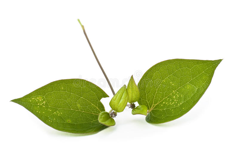 Download Clematis Leaves Royalty Free Stock Photos - Image: 12687588