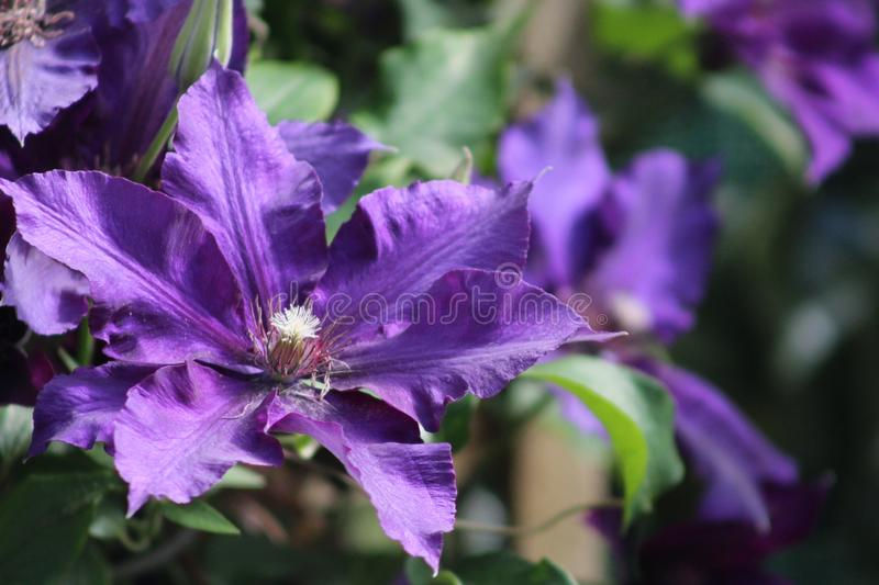 Clematis Mr President. Blooming vine royalty free stock images