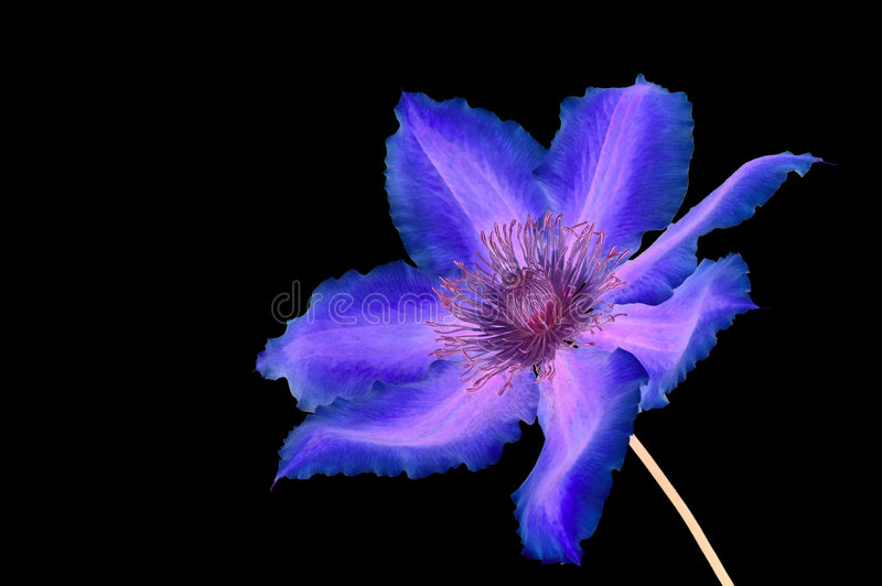 Clematis negative royalty free stock photography