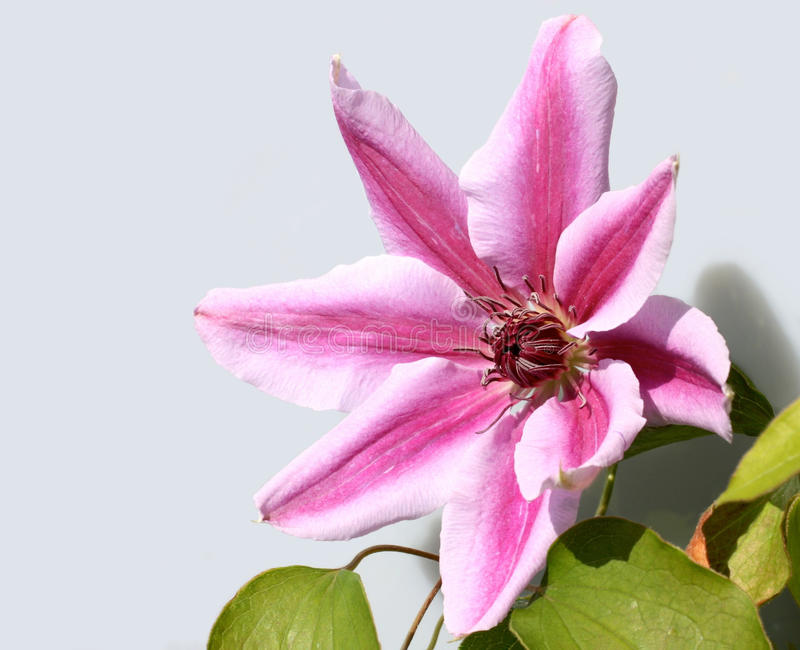 Download Clematis Nelly Moser stock image. Image of pink, close - 39505235